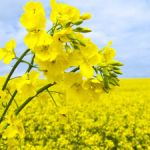 Enhancing Canola Through Genomics